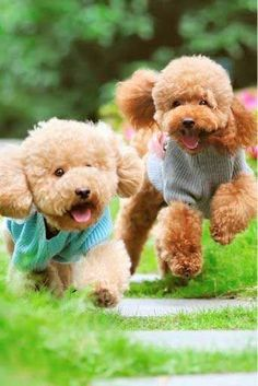 Facts and Photos About the Teddy Bear Dog Breed Teddy Bear Poodle, Teddy Bear Puppies, Dogs And Puppies, Bear Puppy, Bear Dog Breed, Bear Dogs, Animals And Pets, Cute Animals, Funny Animals