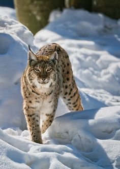 Prowling - Minus 17 Degrees Celsis neither were a problem for the lynx nor for my equipment. But don´t ask me....