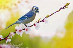 Bird Art Print Wildlife Art Print Blue Jay Bird by FineArtography