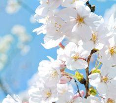 하얀색 벚꽃