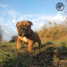 English Bulldogs, French Bulldog, Funny Dogs, Cute Dogs, Continental Bulldog, Dog Emoji, Dog Comics, Dog Suit, Bulldog Breeds