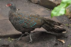 Germain's Peacock-pheasant | Flickr - Photo Sharing!