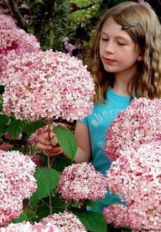 H00009 수국 Pink annabella 1개 8cm포트 / 상태:잎이많이달림 / 11월초 발송 [노지월동하는수국,색이변하는수국] 화형이 독특하고 꽃이 작지만 다화성이다