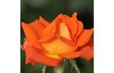 Monica® #rose