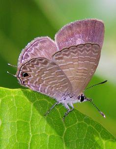 Large Purple Line-blue Butterfly (Nacaduba berenice)