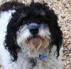 Feisty is an adoptable Poodle Dog in Philadelphia, PA.