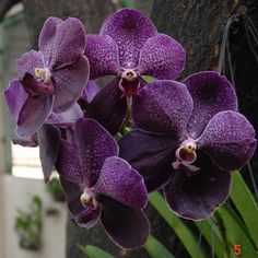 "Vanda Orchid ""Robert's Delight 'Black'"".Singapore is the Best country to buy orchids as many varieties  are available & the quality is great."