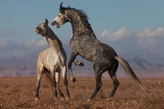 Horses of Morrocco | Nature: Legendary White Stallions