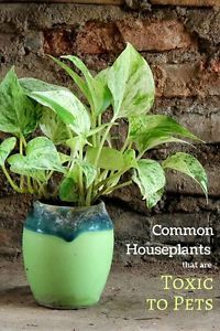 If you have pets at home you know that they love houseplants. Whether it is to bat at the leaves, dig in the soil, or munch on them, indoor plants are part of the home jungle that belongs to them.  After...