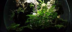 White Orchid BiOrbAir Terrarium Trial (part nine) - Pumpkin Beth