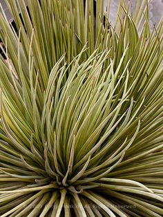 Agave Strictata Hedgehog Agave © 2009 Patty Hankins BeautifulFlowerPictures.com