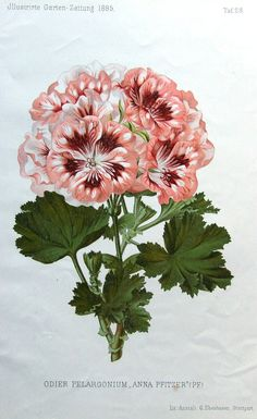 GERANIUM ODIER PELARGONIUM Antique Botanical Flower Print 1885