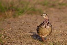 Crested Francolin, Kwazulu Natal, South Africa | francolinus… | Flickr South African Birds, Kwazulu Natal, My Photos