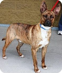 Gilbert, AZ - Australian Cattle Dog/Labrador Retriever Mix. Meet Thumper, a dog for adoption. http://www.adoptapet.com/pet/14904471-gilbert-arizona-australian-cattle-dog-mix
