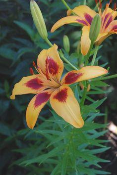 jardin exteriores imagenes : Flores  Lillium o Azucena