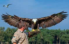 wow, look at that wing span! Birds Of Prey, Eagles, Bald Eagle, Alaska, Cute Animals, Wildlife, Awesome, Journaling, Tattoos