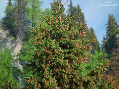 Din natura pentru oameni: Minunea conurilor rosii de molid – BUCEGI NATURA 2000 Plants, Plant, Planets
