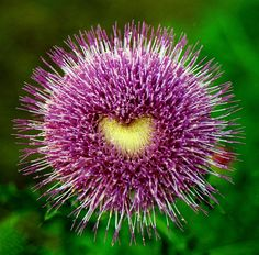 Heart on a Thistle by j.stew, via Flickr