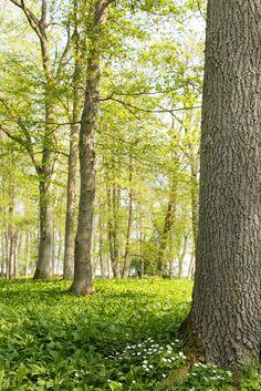 Forest in the spring, Kinnekulle, Sweden