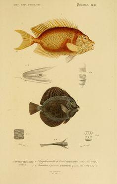 img/dessins couleur poissons/dessin poisson 0099 acanthure a pierreries - acanthurus gemmatus.jpg