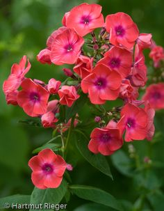 Rusted Iron Urns with Phlox paniculata 'Blue Paradise' Beautiful Flowers, Amazing Flowers, Beautiful Blooms, Container Flowers, Annual Plants, Flower Garden, Red Flowers, Phlox Flowers, Pretty Flowers