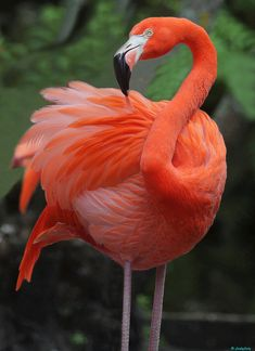 This is a Catibbean Flamingo, a beautiful bird. Cute Birds, Pretty Birds, Beautiful Birds, Animals Beautiful, Cute Animals, Eagle Animals, Foto Flamingo, Flamingo Art, Pink Flamingos