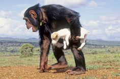 """Nzee the chimpanzee loves to take long walks carrying his """"adopted"""" pet dog. A """"bush meat orphan,"""" Nzee was rescued after he was shot by illegal chimp traders, and he now lives in a sanctuary in Kenya."""