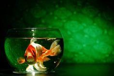 Gold fish !