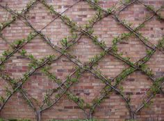 growing Espalier on bare brick (garage exterior wall - back of house)
