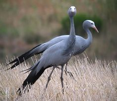 Our National bird - The Blue Crane also known as the Stanley Crane and the Paradise Crane. Today the largest numbers of blue cranes can be found in the Western Cape (± 12 000 birds)