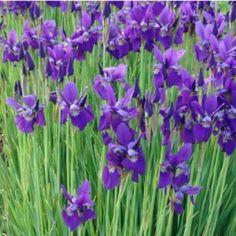 Iris sibirica – Pěstování trvalek v Českých podmínkách Irises, Low Maintenance Landscaping, Iris Flowers, Mauve, Landscape, Plants, Compact, Brother, Gardening