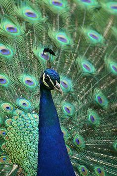 Bronx Zoo Peacock- Colorful Creation