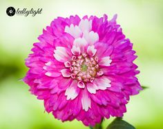 Pink and Purple Dahlia 8x10 Print by LedByLight on Etsy,