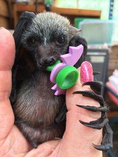 Look at that foot! Baby Flying Fox Bat