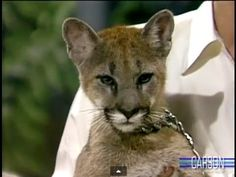 Joan Embery visits Johnny Carson with a 5 month old mountain lion. Johnny uses a remote control to entice the cub with a stuffed animal.  Aired in 1986.
