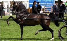 """Makes me sad to see this lovely horse is in danger of moving from rare breed status to """"critical, as there are only about 300 breeding females left. Hackney Horse"""
