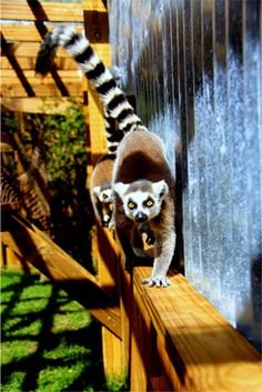 Lemurs at Wild Florida Wildlife Park