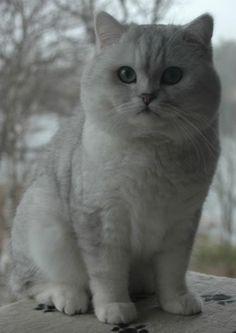 Silver British Shorthair | Silver Shaded British Shorthair (shaded silver male)
