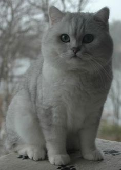 Silver British Shorthair | Silver Shaded British Shorthair (shaded silver male)