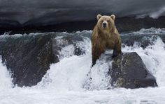 Bear Wallpaper Find Fish