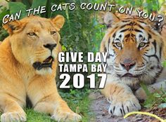 Give Day Tampa Bay email blast to supporters and post on social media – morning May 2, 2017Email subject line: Today is Give Day! Can Our Cats Count On You?GIVE DAY TAMPA BAY IS TODAY!!Your online donation to Big Cat Rescue TODAY (May 2 between 12:00 a.m. and 11:59 p.m. ET) will help us reach our goal of $61,000 for our cats – AND help us win up to $12,000 in cash prizes! Give Day Tampa Bay is a 24-hour, online giving event in our community. It has historically been one of the larg