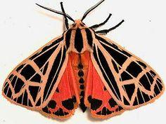 Apantesis nais: Nais tiger moth