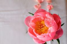 'Coral Charm' peony #floralphotography