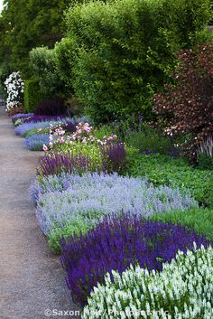 Perennial border with low flowering sages, Salvia nemerosa and Catmint, shrubs behind, along gravel path. Perennial Border, Plants, Cottage Garden, Garden Paths, Outdoor Gardens, Perennials, Garden Inspiration, Garden Borders, Landscape