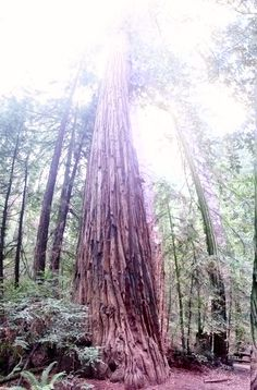 At the edge of the wine country, we will engage in one of Sonoma's best kept secrets, the ancient redwood trees of Armstrong Woods State Park! Here, we'll enjoy a delicious lunch, and explore the majestic forest.