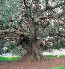 alberi secolari nel mondo