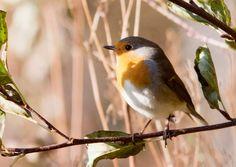 Eläinopas: tutustu kevään muuttolintuihin | Meillä kotona Bird, Tieto, Animals, Animales, Animaux, Birds, Animal, Animais