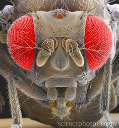 Drosophila melanogaster...how can I ever forget that name after Biology 311 (Genetics) Lab??