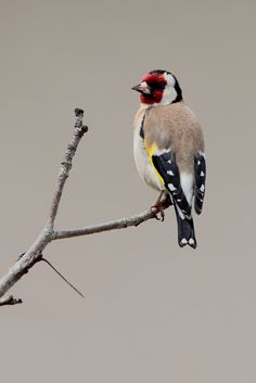 Beautifull picture of the Eurasian goldfinch (carduelis carduelis) with nice beige background