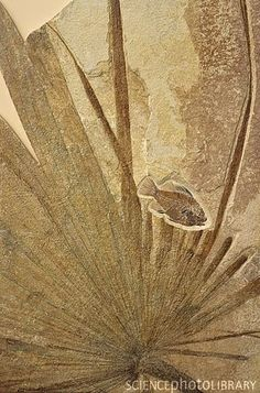Fossilized fish and palm frond.